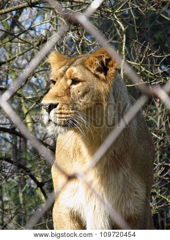 lioness in the cage