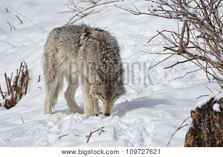 Scrounging Timber Wolf