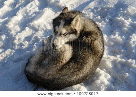 Siberian Husky sleeping in the snow
