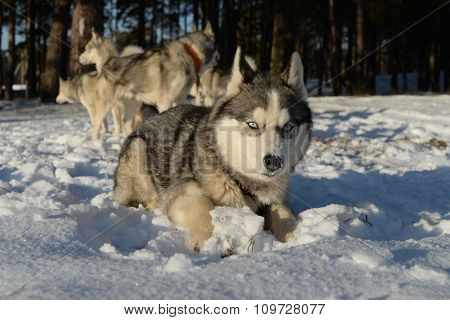 Dog breed Siberian Husky lying in the snow