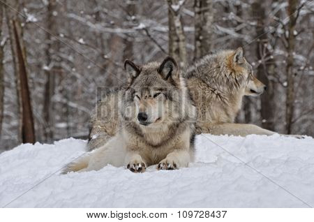 Pair of Timber Wolves