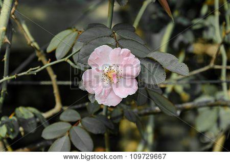 Pink Flower,vintage Style