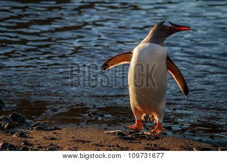 Adeli Penguin