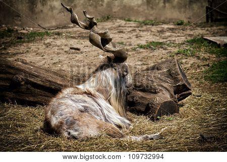 Capra falconeri heptneri - goat