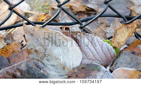 Frozen Elm And Birch Leaves Under Mesh Fence Covered By Ice Crystals
