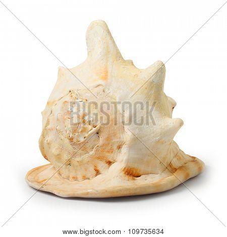 The Horned Helmet (Cassis cornuta). Seashell isolated on white background.