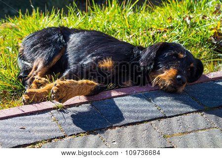 Large homeless dog