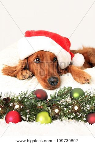 Irish setter dog wearing a Santa hat laying down in front of Christmas decorations.
