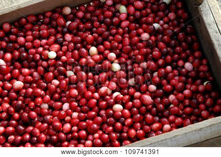 Crate of freshly picked cranberries