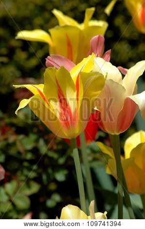 Bright colorful red and yellow tulips