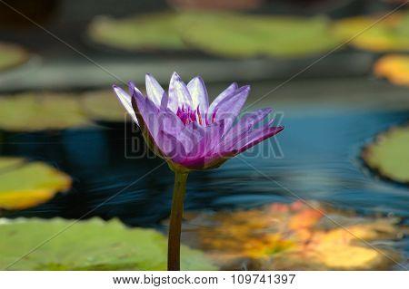 Purple waterlily in a garden pond