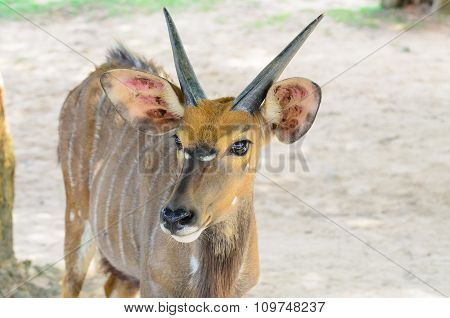 Young Gazelle In Profile.