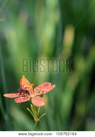 Leopard Lily And Bee