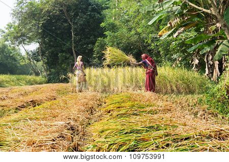 Indian Women Are Harvesting Rice Paddies.