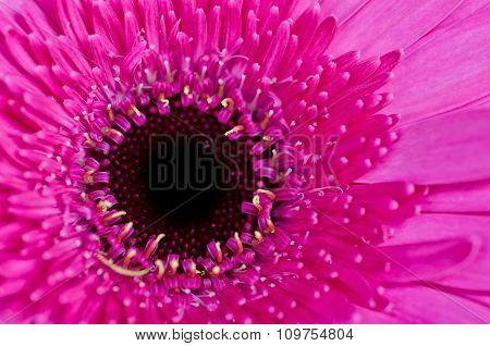Violet Gerbera Flower Close-up Macro