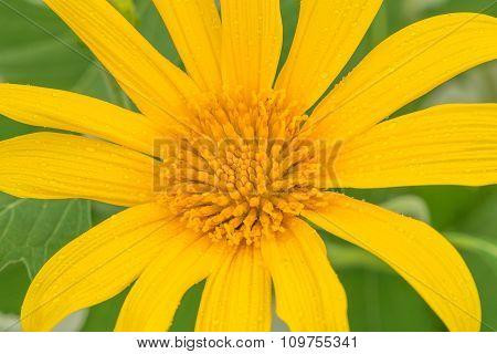 Close Up Of Japanese Sunflower (buatong)