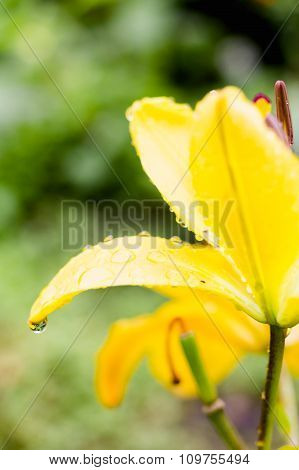 Yellow Flower With Frequent Water Drops With Reflection