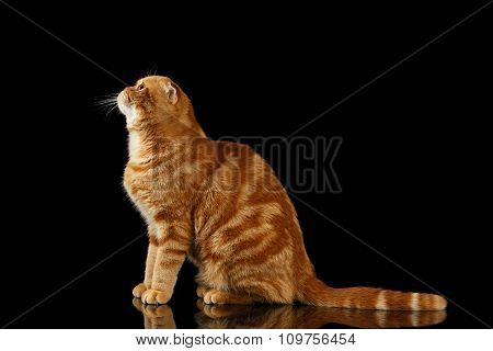 Ginger Scottish Fold Cat Sits And Looking Up Isolated On Black