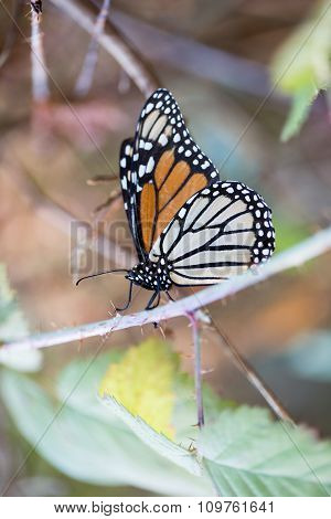 Monarch butterfly holding on to a stem with closed wings