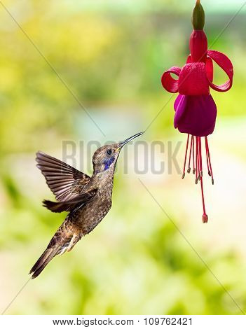Hummingbird Feeding On Hardy Fuchsia Flower
