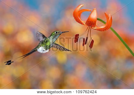 Hummingbird Hovering Next To Tiger Lily