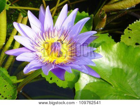 bee on purple lotus