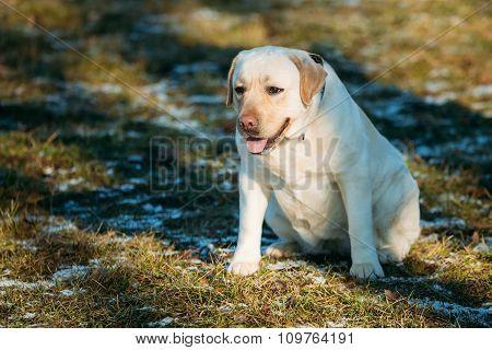 White Female Labrador Retriever Dog Outdoor