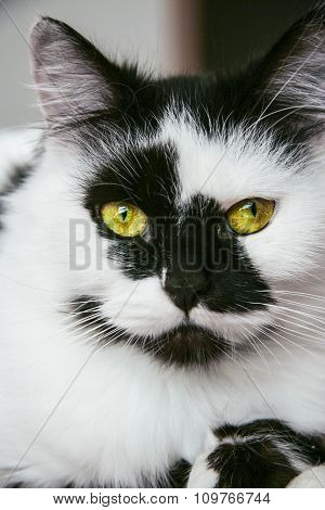 Spotted Black And White Male Cat