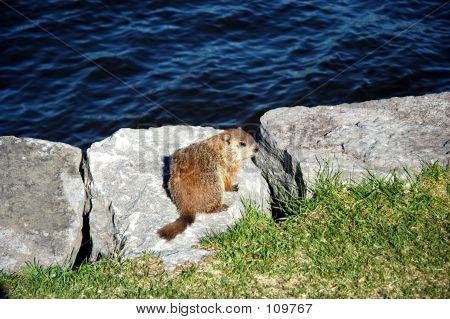 Fat Groundhog