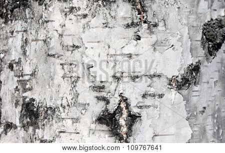 White birch bark, close-up natural texture background