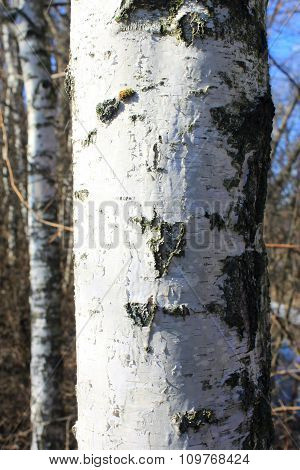 white trunk of a birch against the blue sky closeup