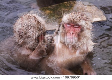 The Onsen Monkey Is Being Taken Flea Off By Friend At Jigokudani Monkey Park - Nagano, Japan