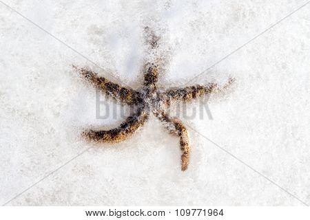 Starfish Asteroidea frozen in the ice.