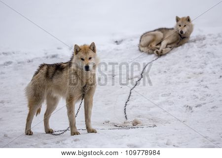 Greenlandic Sledding Dog