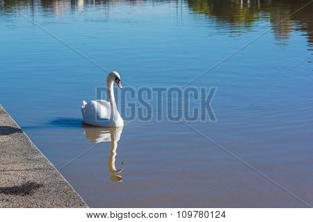 The swan on the Po River in Turin, Italy