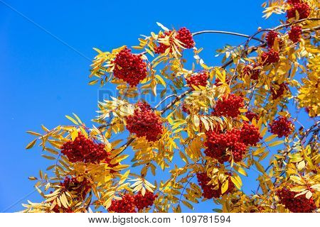 Red Ripe Ashberries Against The Blue Sky