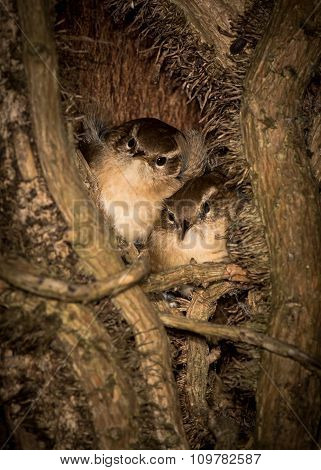 Treecreepers (Certhia americana) roosting at night