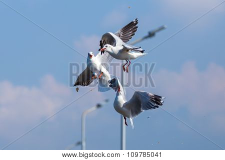 Fighting Of Seagulls