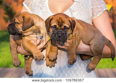 Two Bullmastiff Puppy On Hands