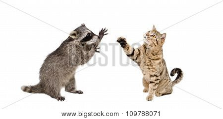 Funny  raccoon and  playing cat Scottish Straight