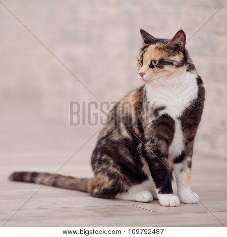 Domestic Multi-colored Cat