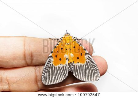 Male Broad-winged Tiger Moth