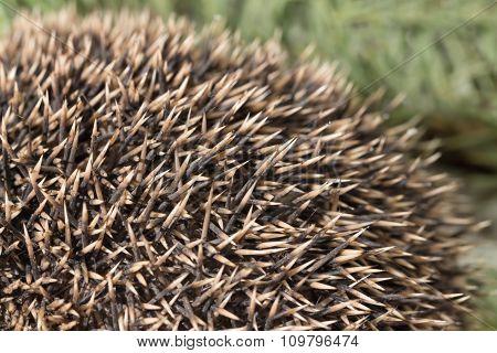 Hedgehog texture close up