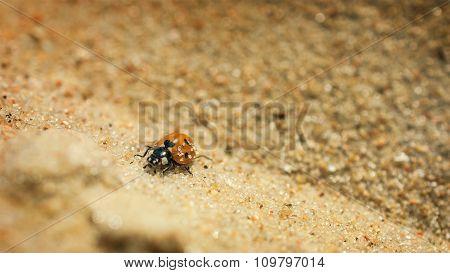 Ladybird Resting On Sand.