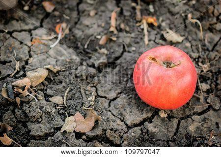 Fallen Apple On The Cracked Ground.