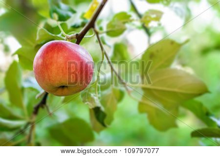 Red Apple On Apple Tree Branch.
