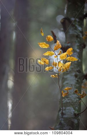Beech Branch With Leaves, Illuminated By Sunlight