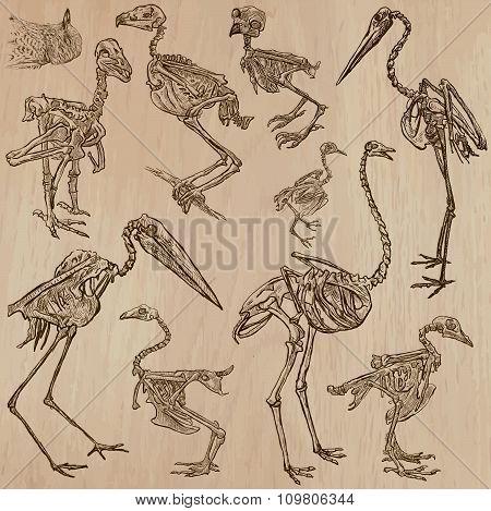 Birds Bones, Skeletons - Freehands, Vector