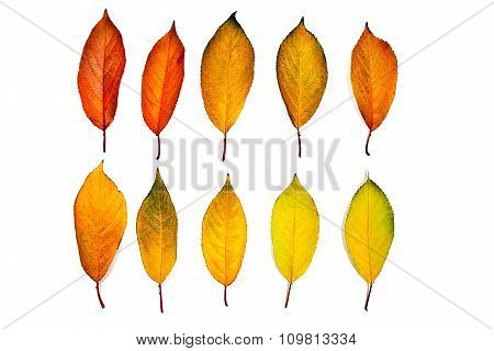 Assort Of Different Autumn Leaves Of Cherry Tree Isolated On White Background. With Clipping Path.