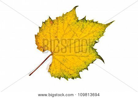 Autumn Grapes Leaf Isolated On White Background. With Clipping Path.